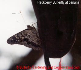 Hackberry Butterfly at banana