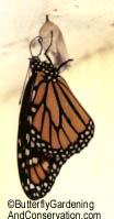 newly emerged Monarch hanging on side of shed.