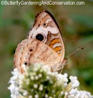 Buckeye Butterfly side view
