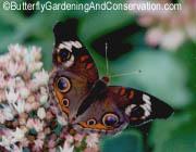 Buckeye Butterflye.