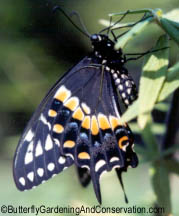 Black Swallowtail butterfly shortly after emerging from chrysalis.