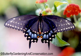 Female Black Swallowtail