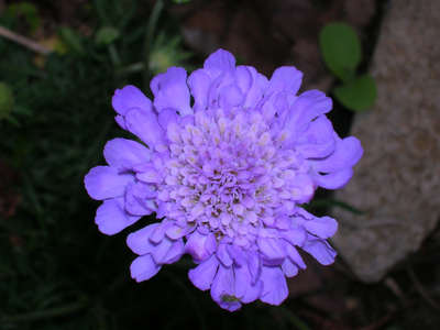 One Scabiosa flower - butterfly blue variety.