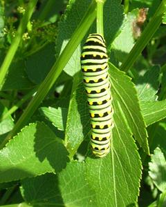 Black Swallowtail caterpillar on Golden Alexander.