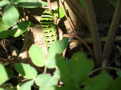 Black Swallowtail caterpillar on Yellow Pimpernel.