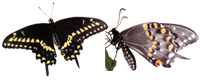 Black Swallowtail butterfly and Purple Coneflower design.