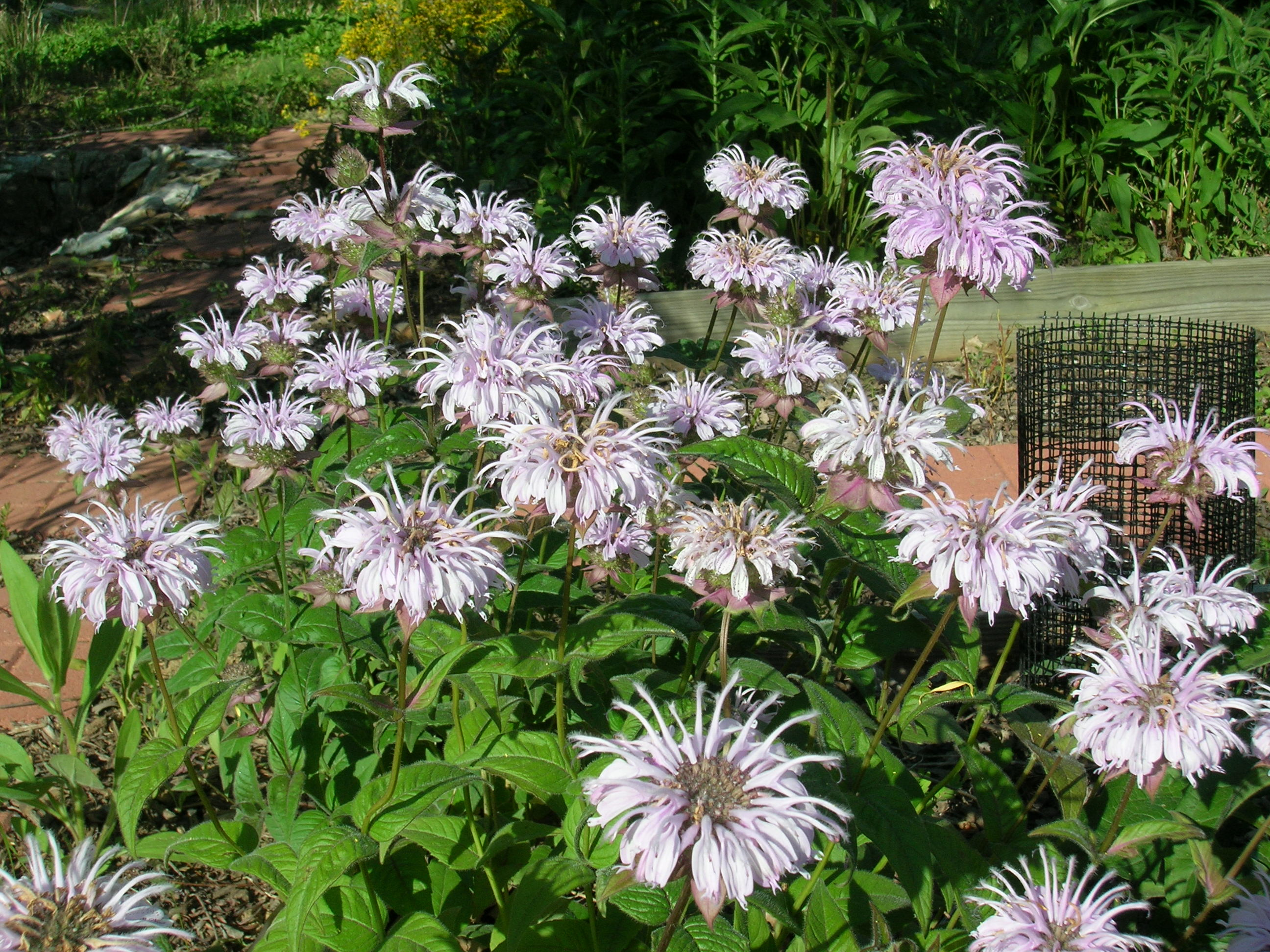 It is a nectar source, not a host plant. I wanted it in part to have ...
